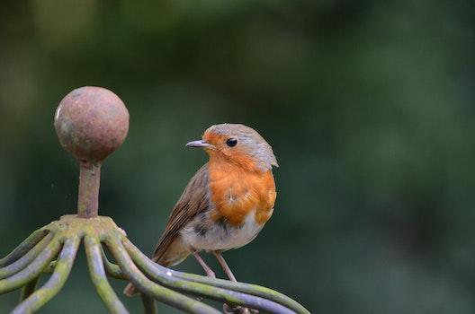 Free stock photo of bird, animal, robin, songbird