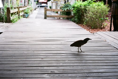 Single bird walking on wooden path