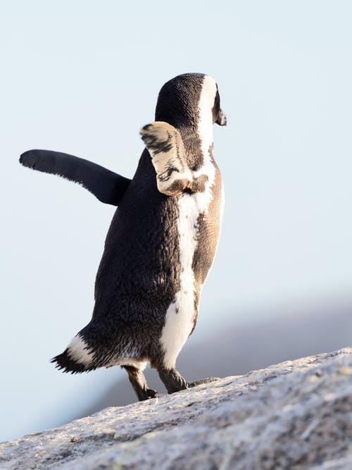 Darmowe zdjęcie z galerii z afryka południowa, afrykański pingwin, antarktyda