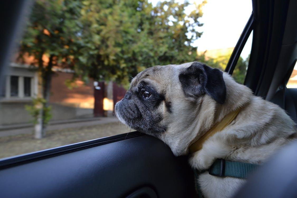 car shop dog, cute, dog