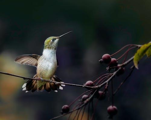 Hummingbird with spread wings on May tree twig