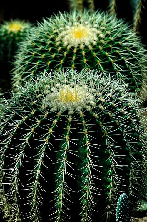 Gratis stockfoto met cactussen, close-up, detailopname, fabriek