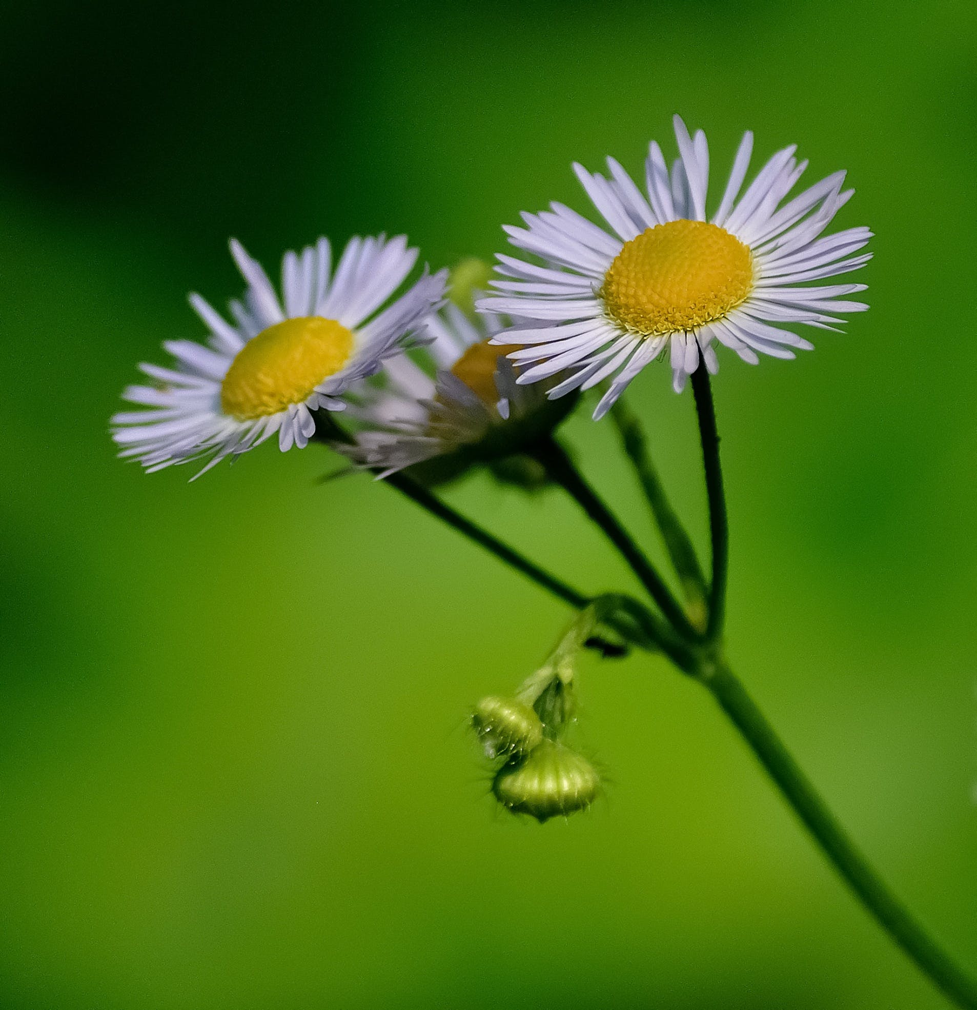 Selective Focus Photo of Daisy Flowers