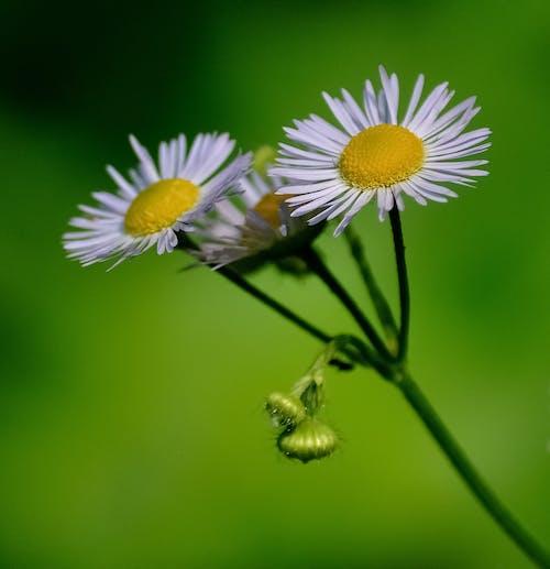 Foto d'estoc gratuïta de flora, florir, flors, fresc