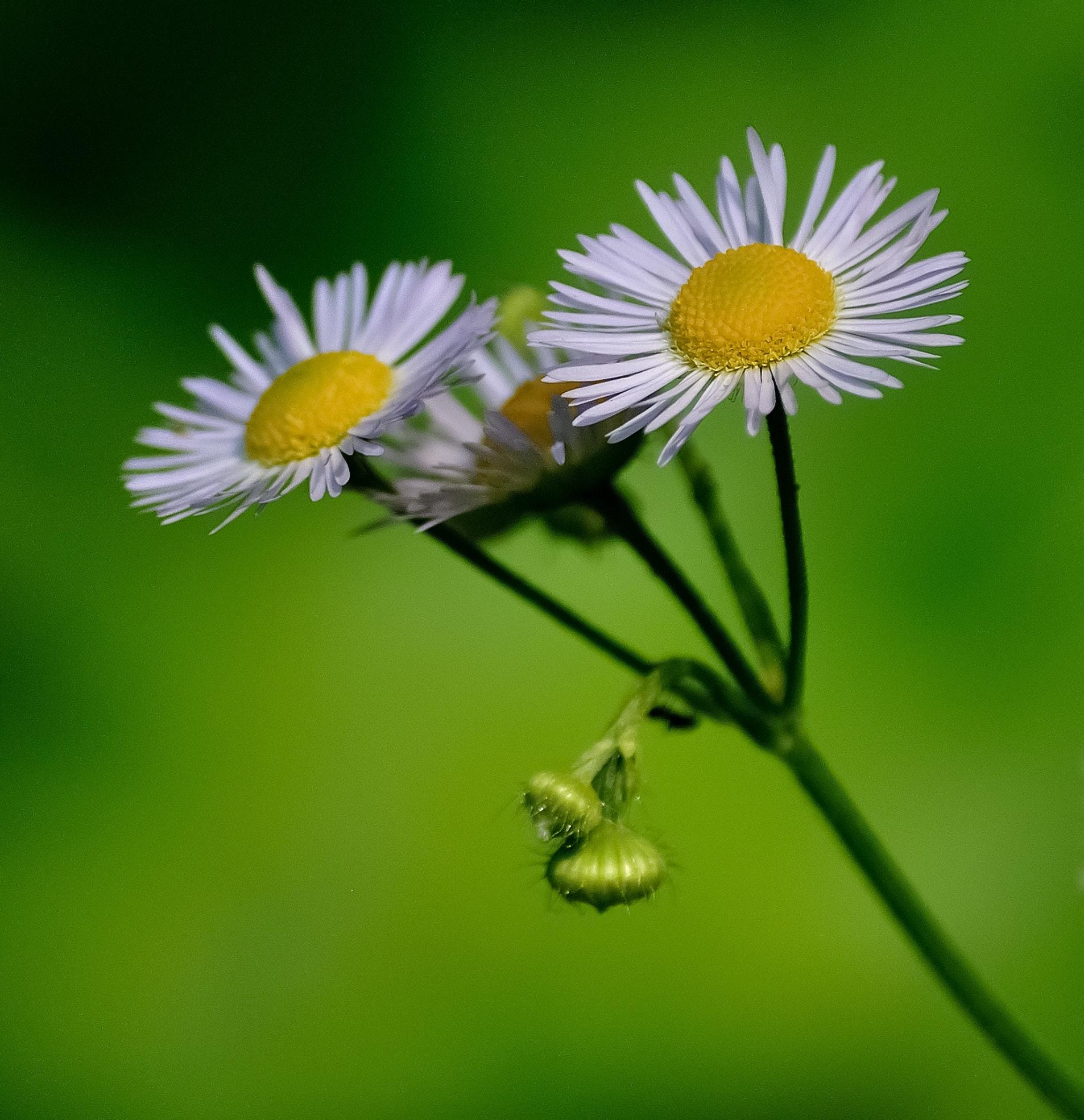 Selective focus photo of daisy flowers free stock photo free download izmirmasajfo