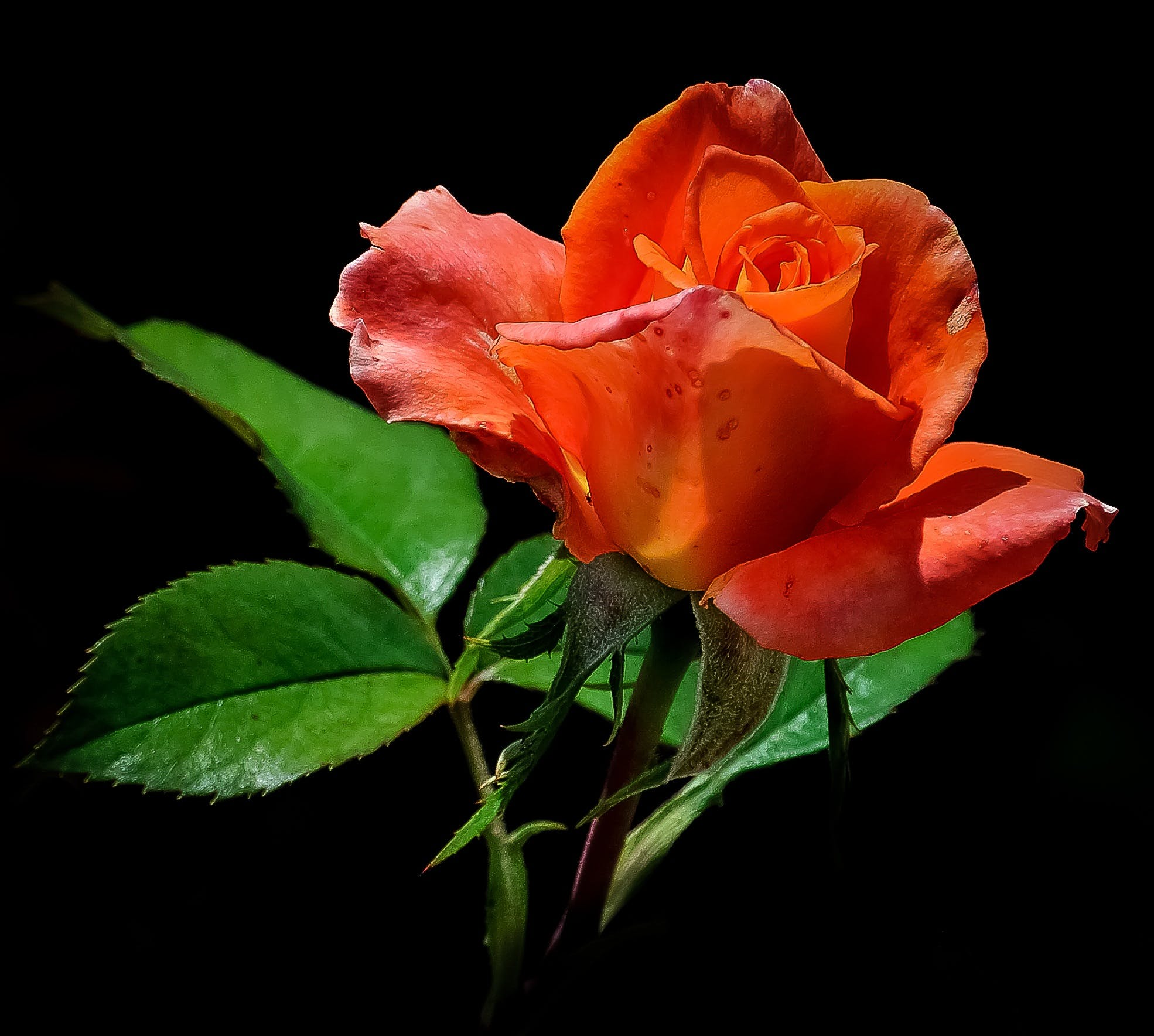 Close-up Photo of Red Rose