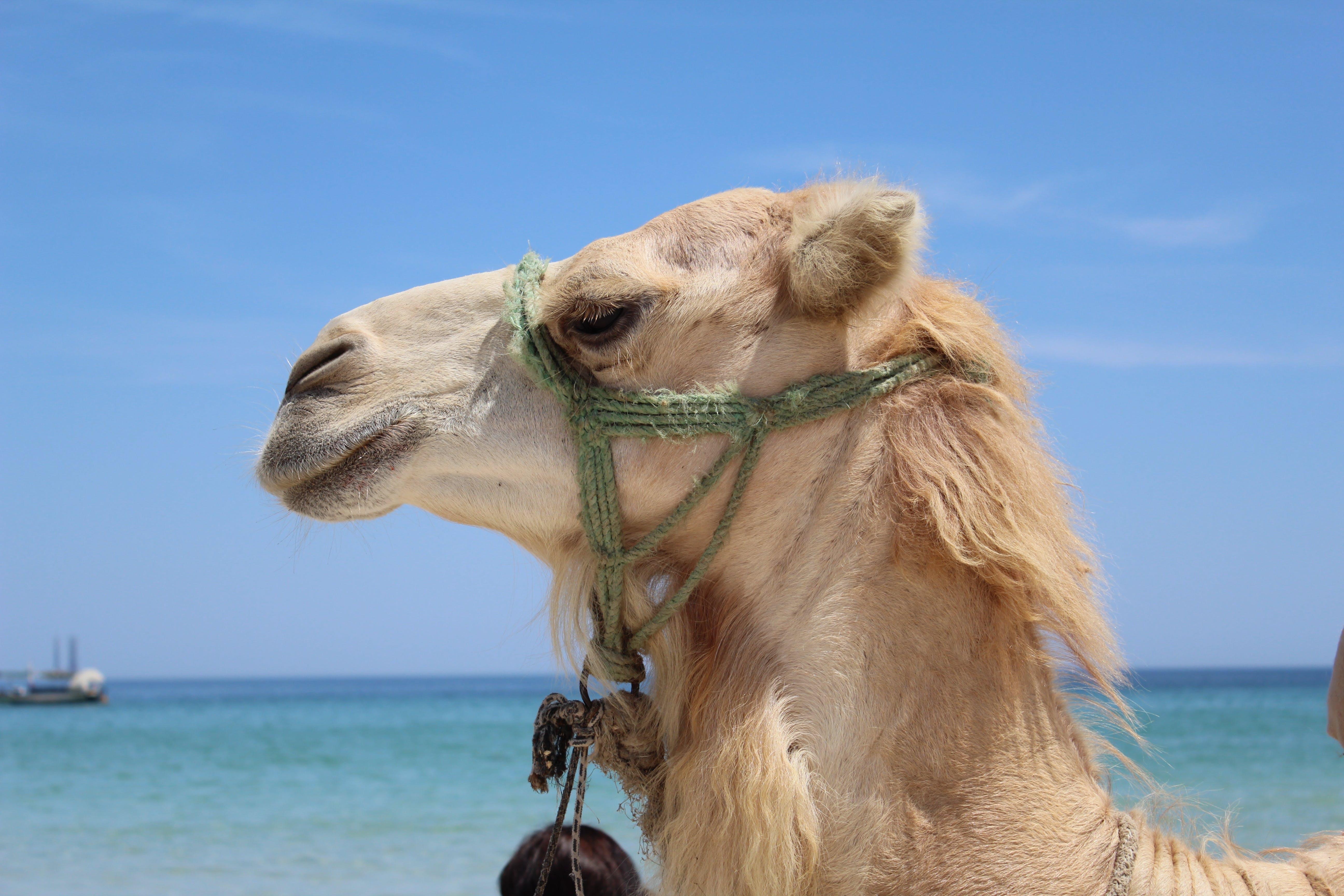 Beige Camel Standing Near Shoreline