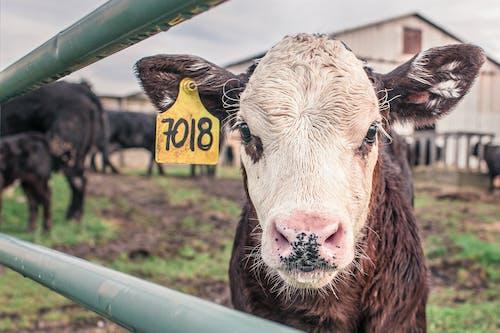 Fotobanka sbezplatnými fotkami na tému 7018, číslo, farma, krava