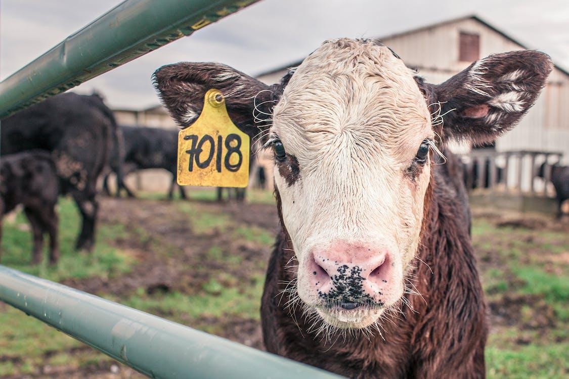 Foto profissional grátis de 7018, agricultura, animal