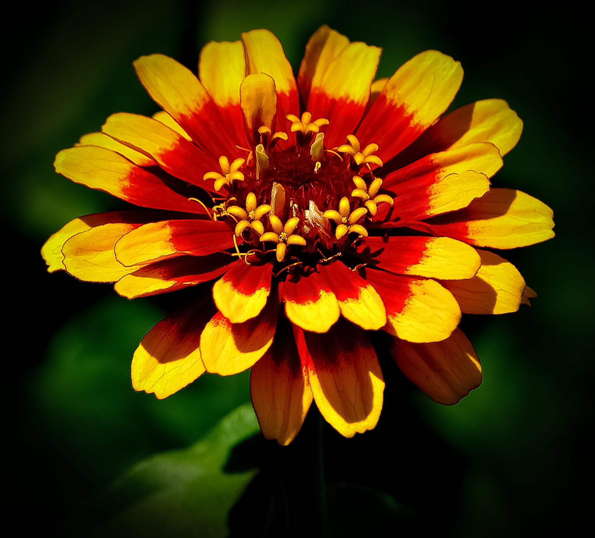 Yellow and Red Zinnia Flower Selective Focus Photography