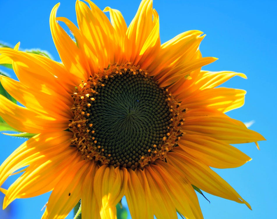 Yellow Multi Petaled Flower Closeup Photography Under Blue Sky during Daytime