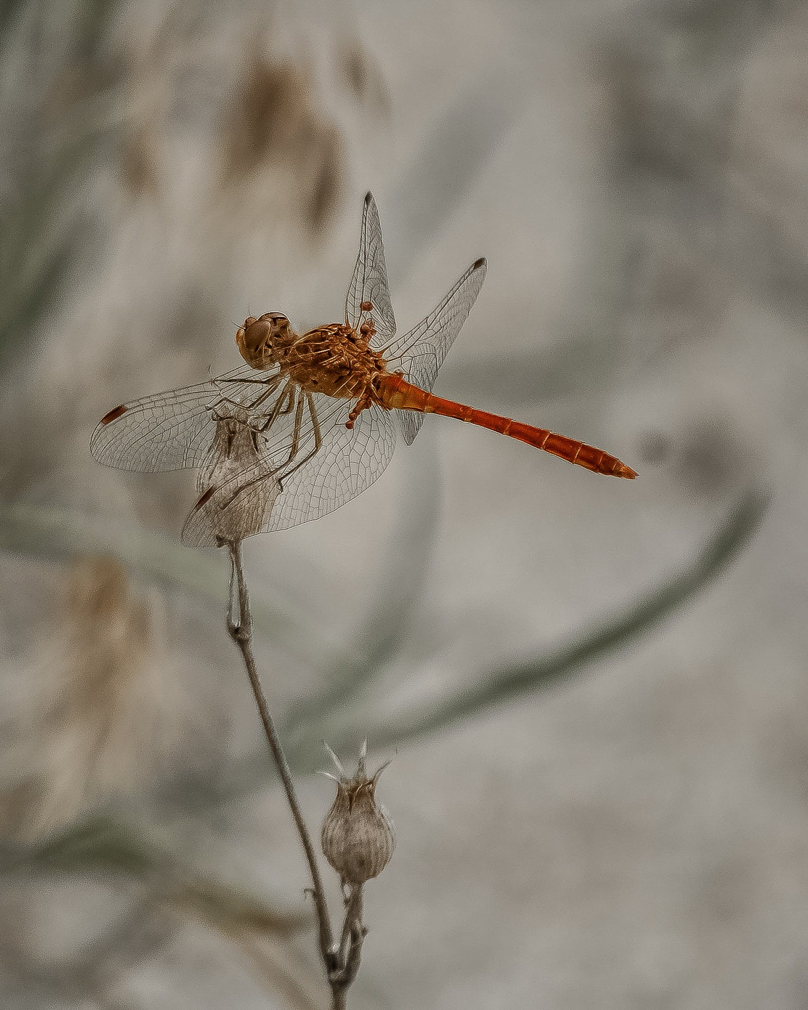 Wandering Glider Dragonfly Perching on White Flower