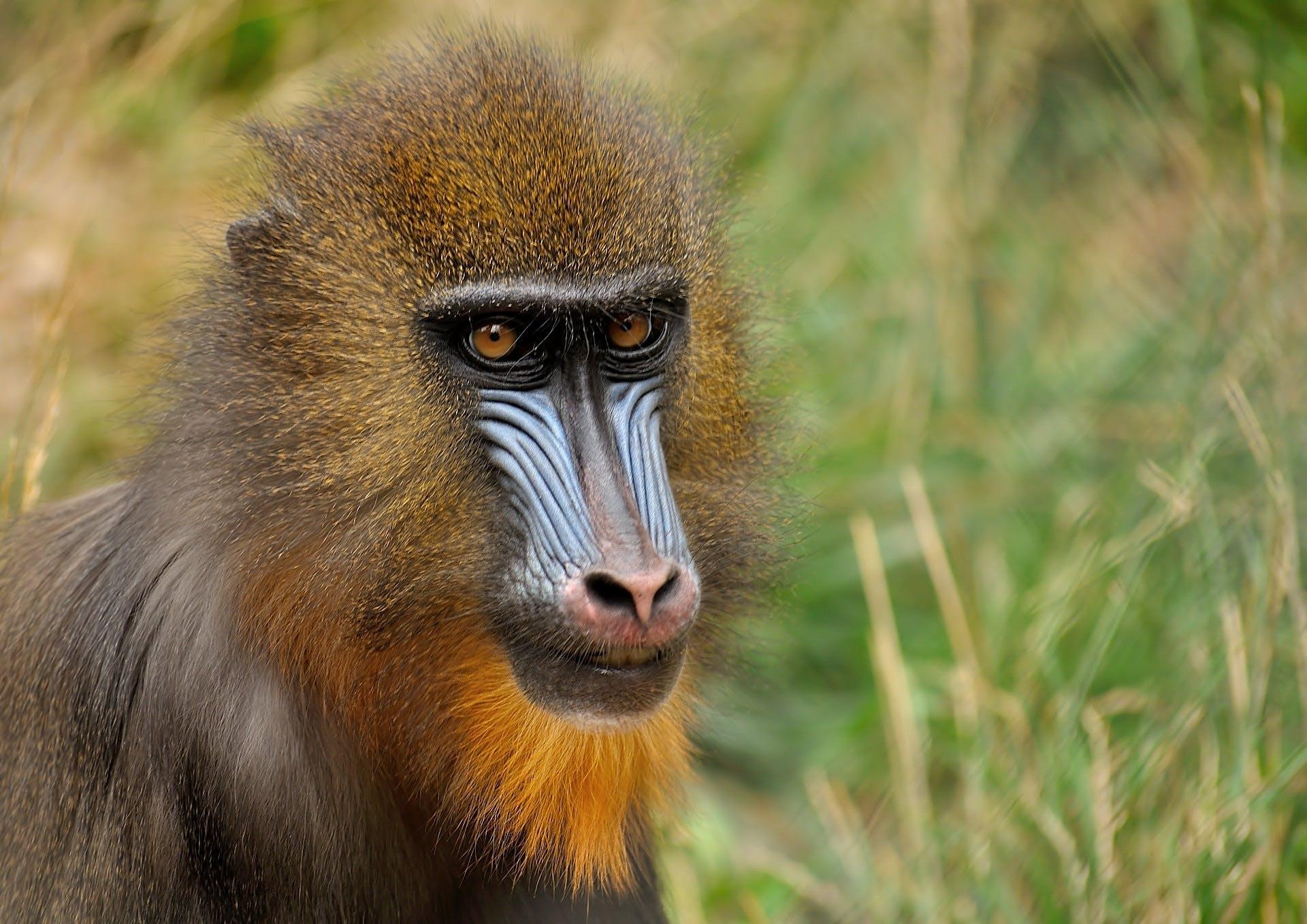 Darmowe zdjęcie z galerii z dzika przyroda, mandryl, małpa, natura