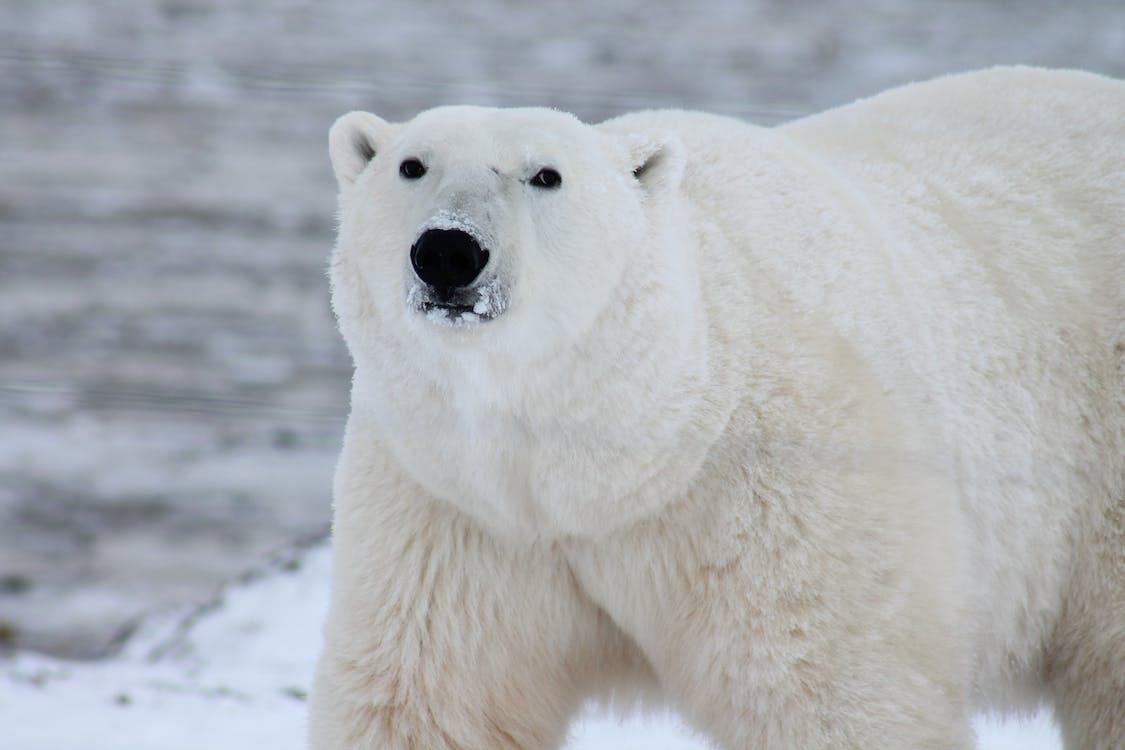 Beruang kutub merupakan salah satu hewan terbesar di dunia