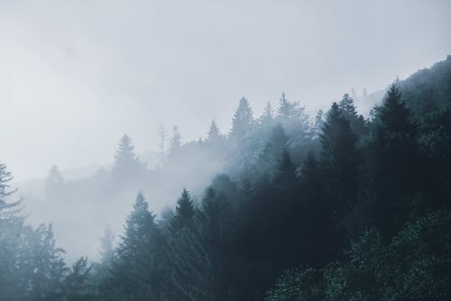 Lush coniferous forest in foggy weather
