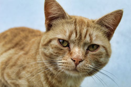 An Adorable Brown Tabby Cat