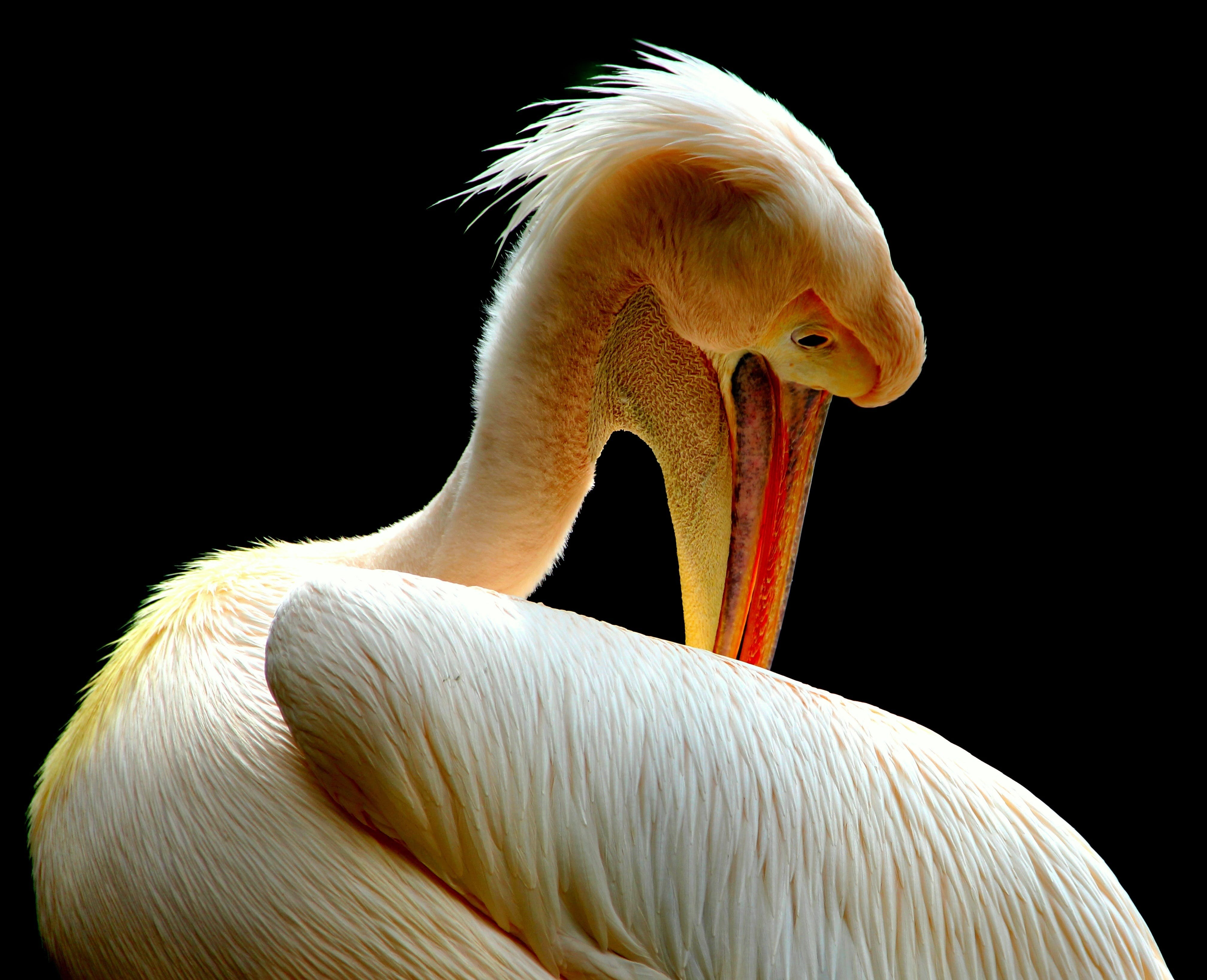 Selective Focus Photography of American White Pelican