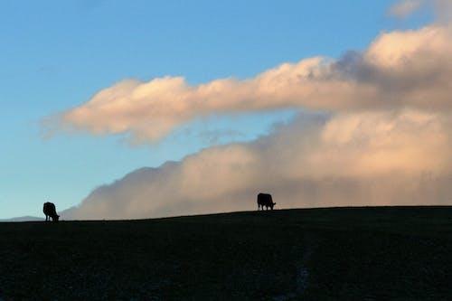 คลังภาพถ่ายฟรี ของ มอนแทนา, วัว, เมฆ