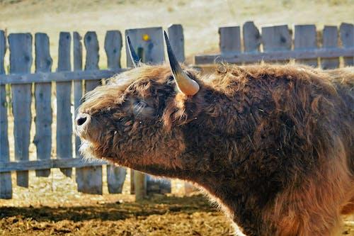 คลังภาพถ่ายฟรี ของ วัว, สกอตติชไฮแลนด์, เขา