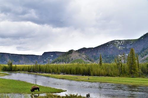 Základová fotografie zdarma na téma bizon, buvol, hory, Yellowstonský národní park