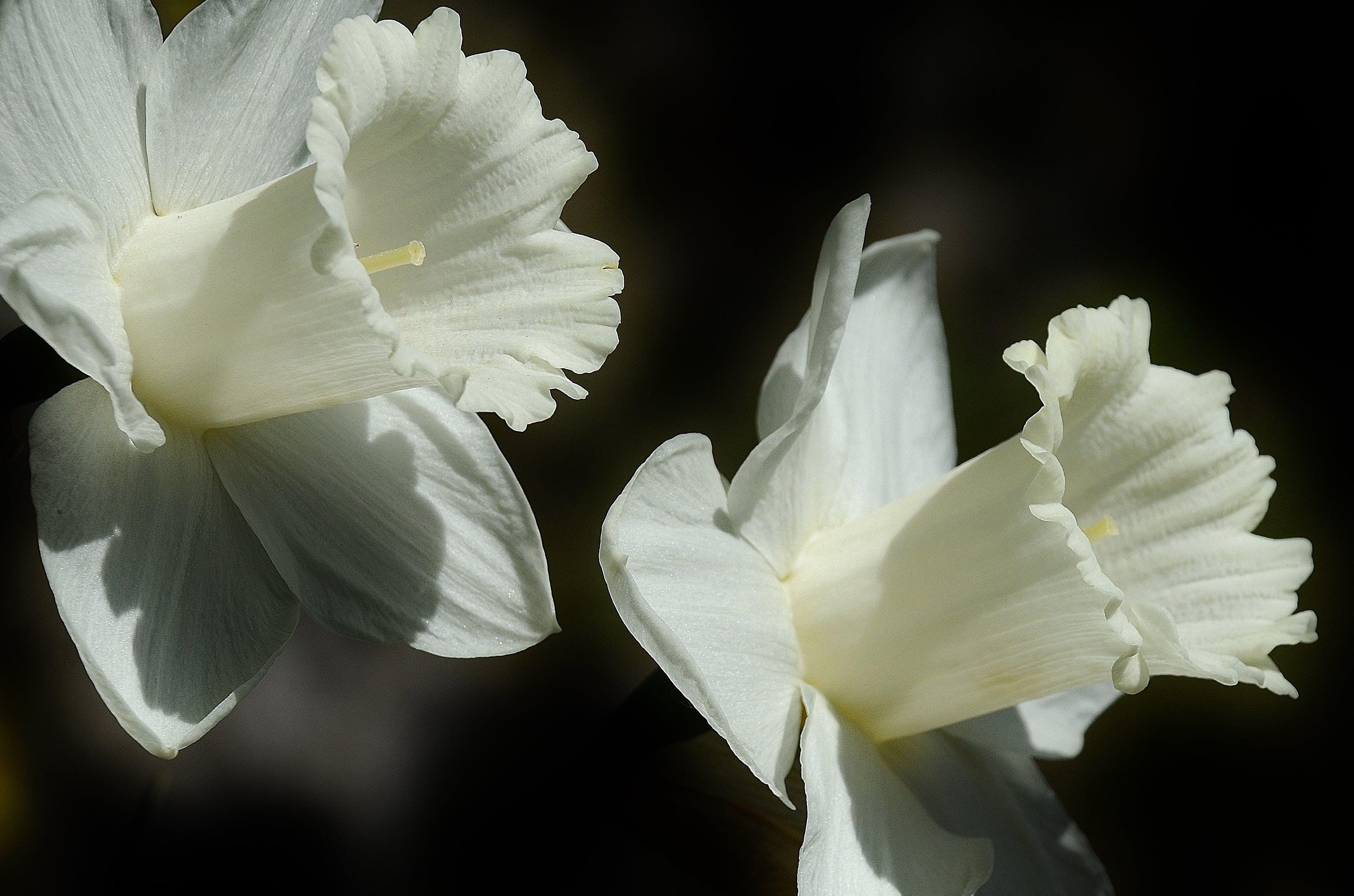 Foto stok gratis berkembang, bunga daffodil, bunga-bunga, flora