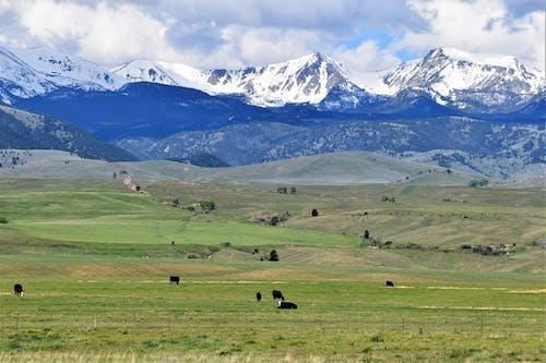 Immagine gratuita di angus, montagne, Montana, mucche