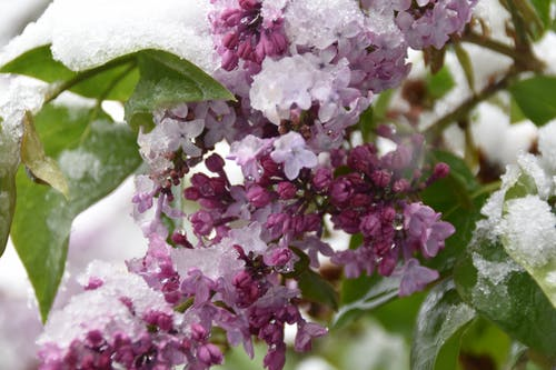 Immagine gratuita di fiore, gelo, lilla, marcia