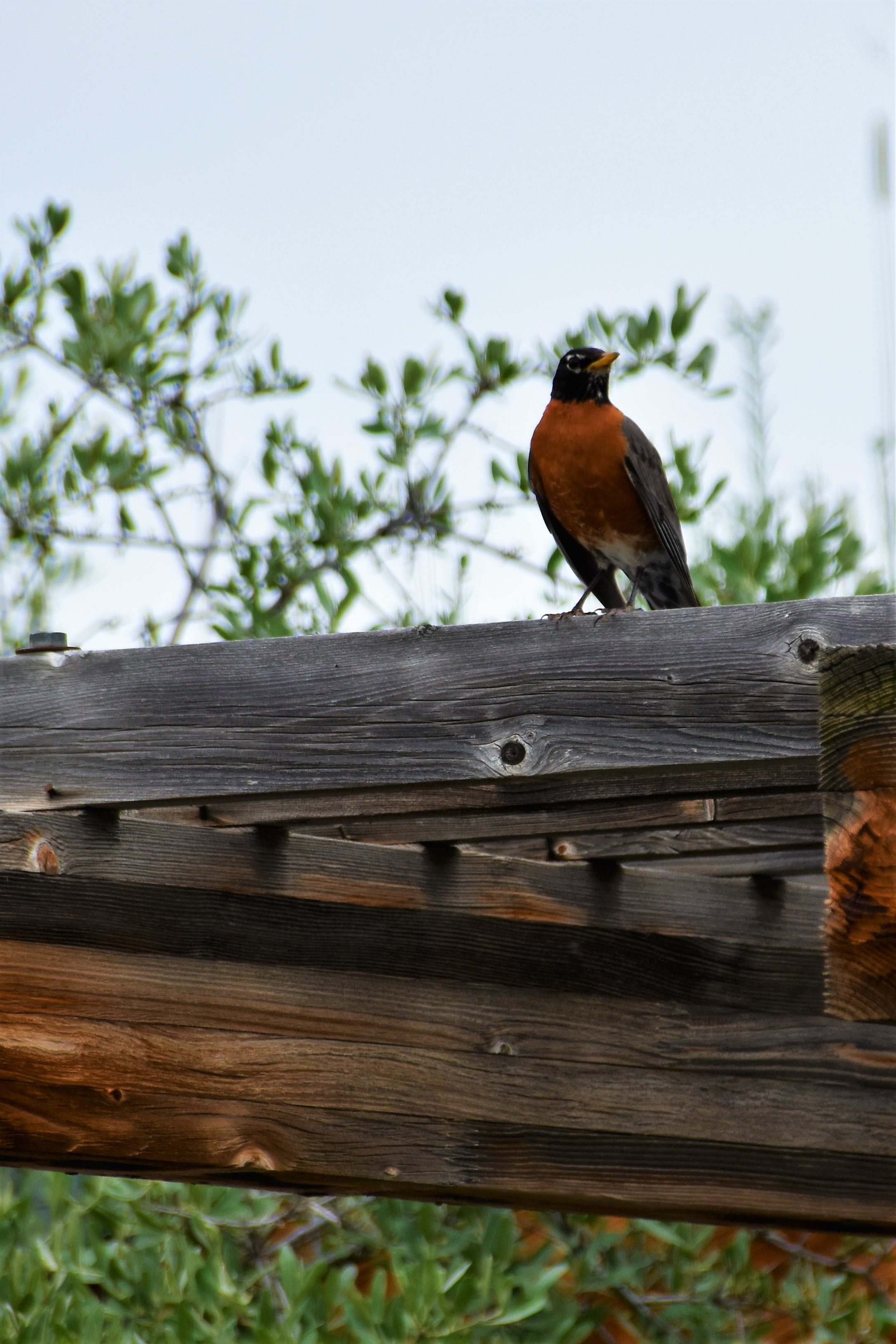 Free stock photo of bird, robin, spring, wood