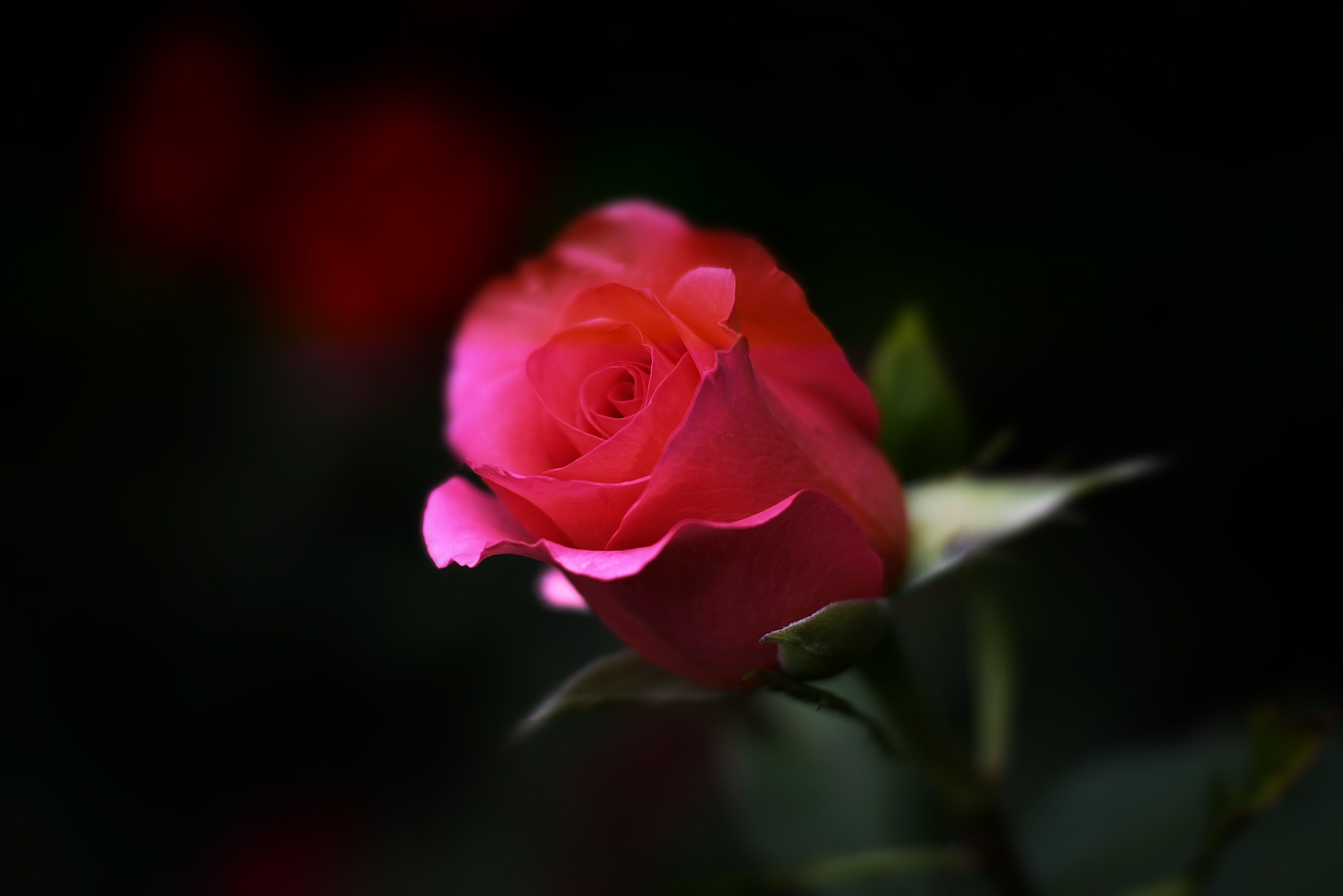 beauty, black background, bloom