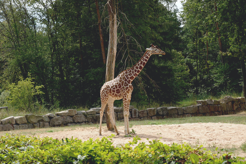 Giraffe Near Tall Trees