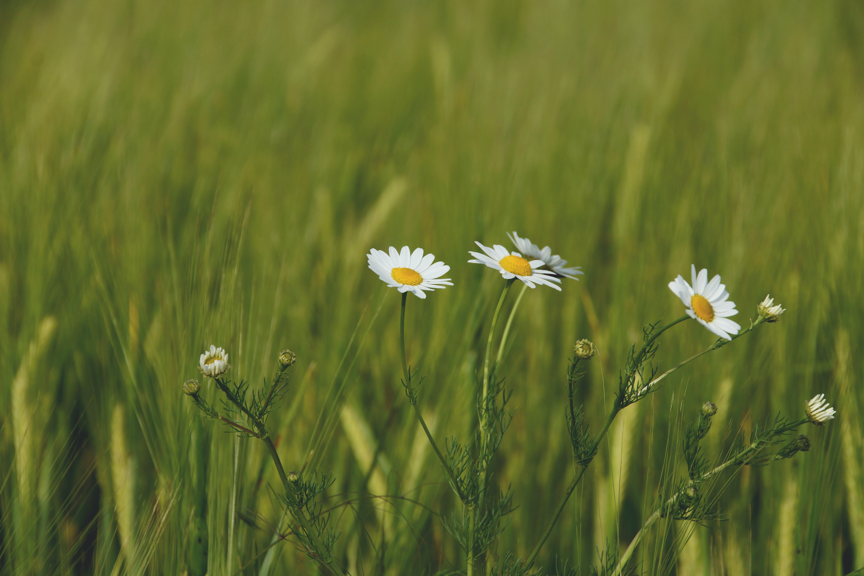 คลังภาพถ่ายฟรี ของ กลีบดอก, การเจริญเติบโต, ความชัดลึก, ดอกคาโมไมล์