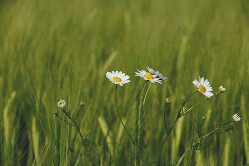 Flores Margaridas