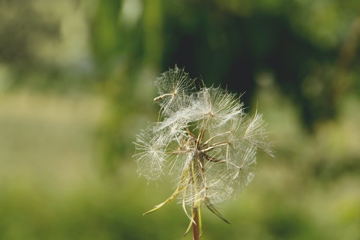 Free stock photo of blur, flower, dandelion, bright