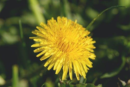 Yellow Dandelion Selective Focus Photography