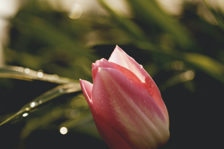 blomst, blomstrende, close-up