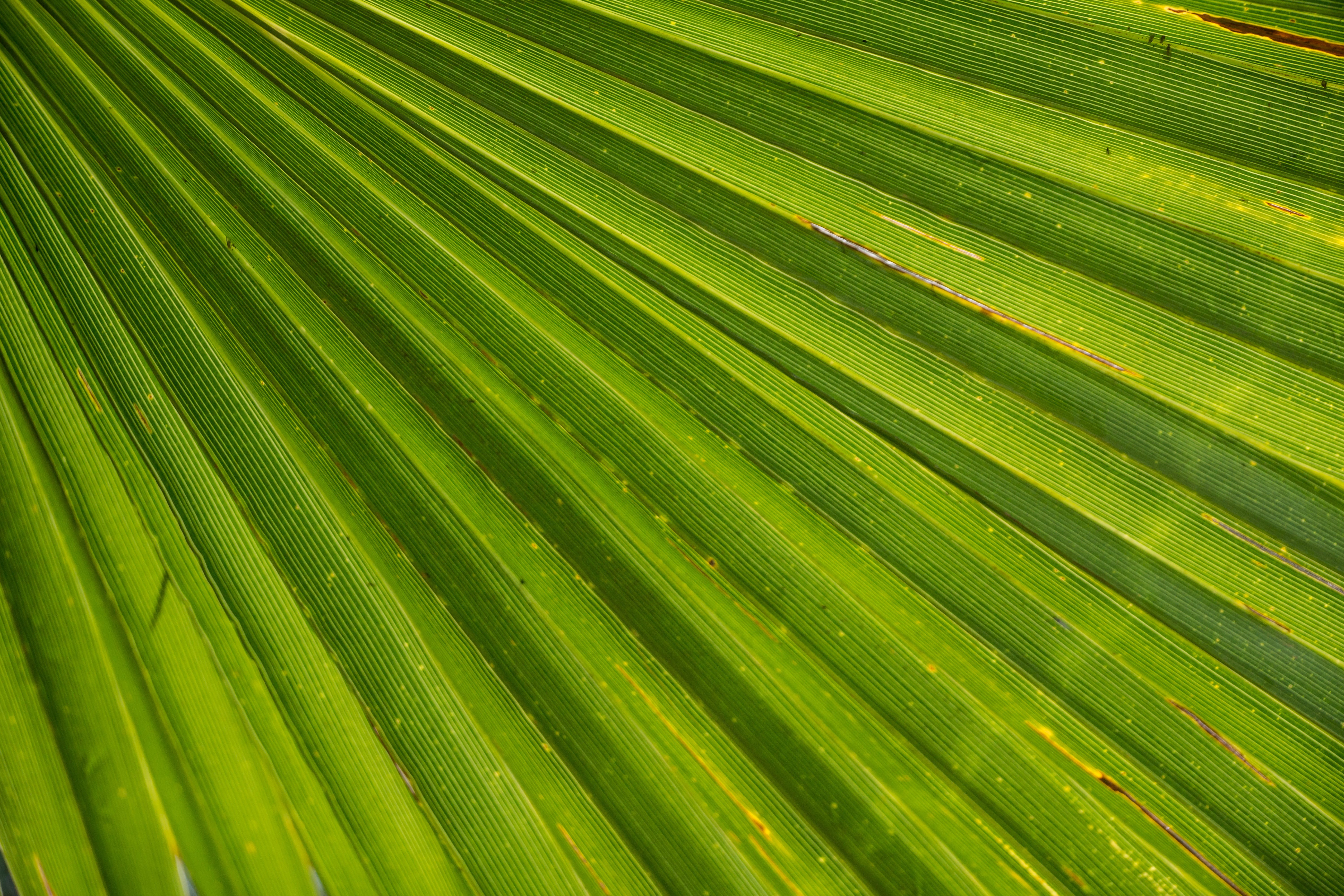 Close-up Photography of Green Fan Palm Leaf