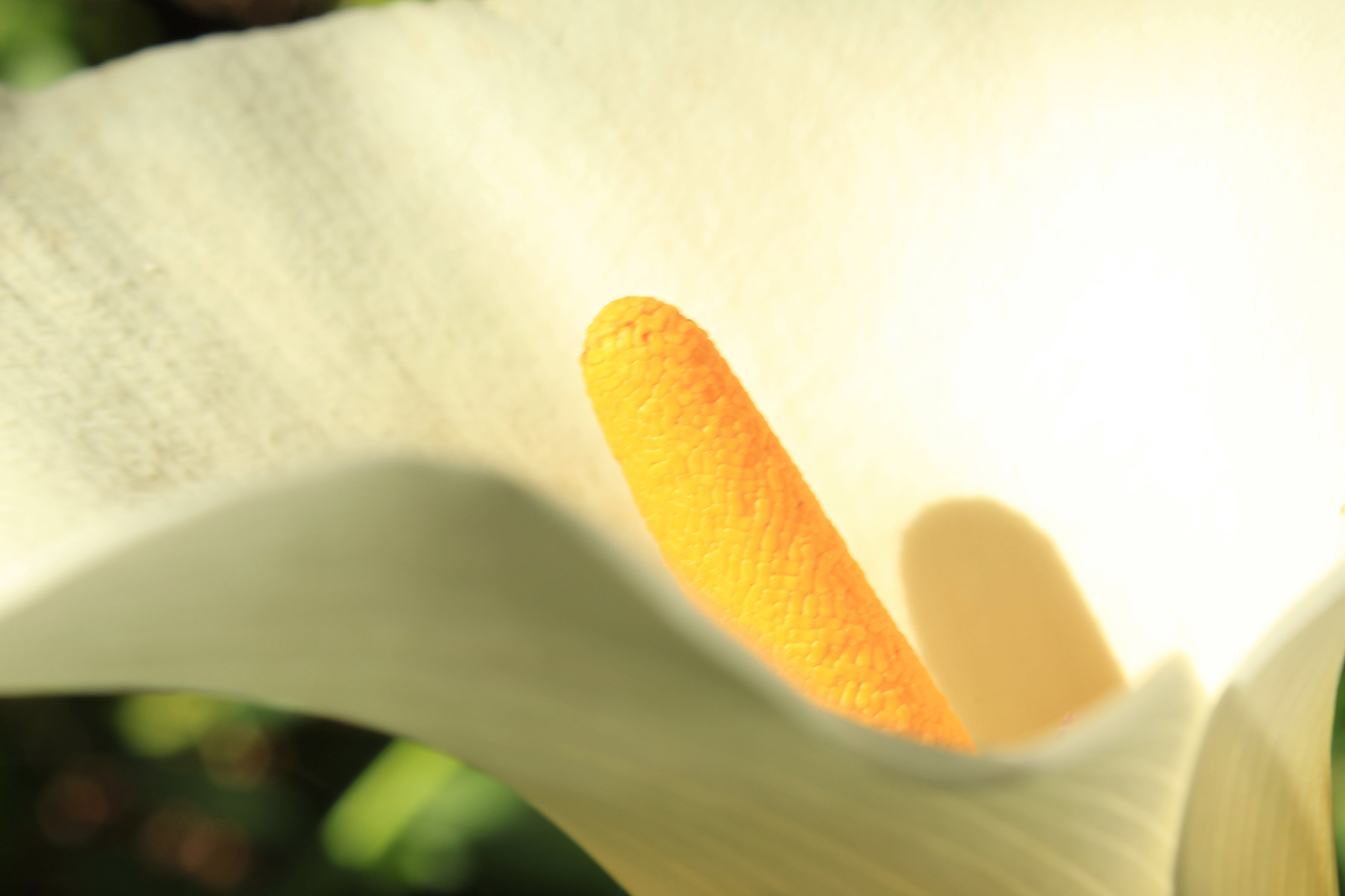 Free stock photo of flower, Lilly