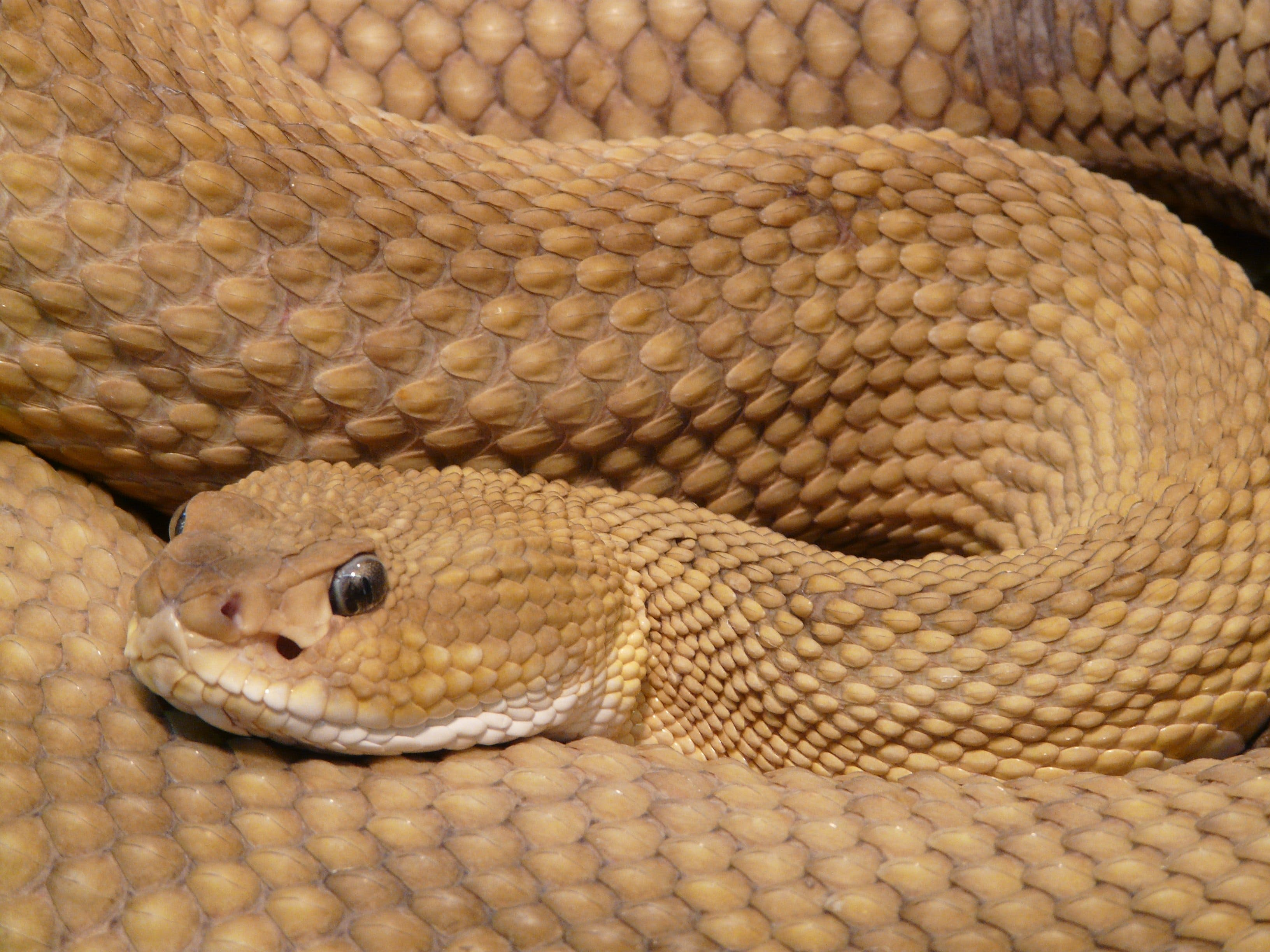 Brown Viper Snake