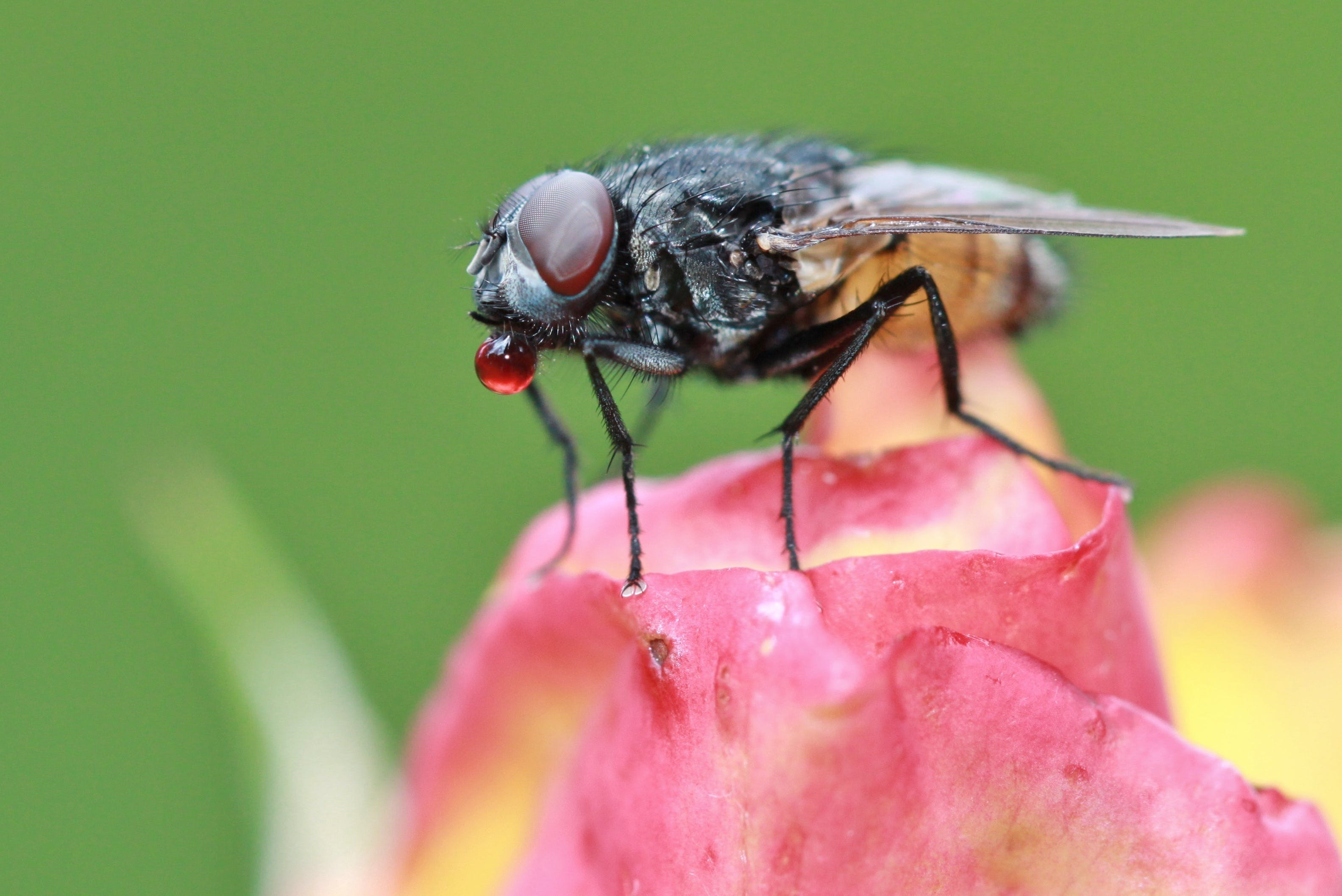 Black and Brown Fly Perching on Pink Flower