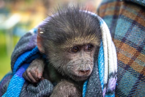 Photo of a Young Macaque on a Blanket