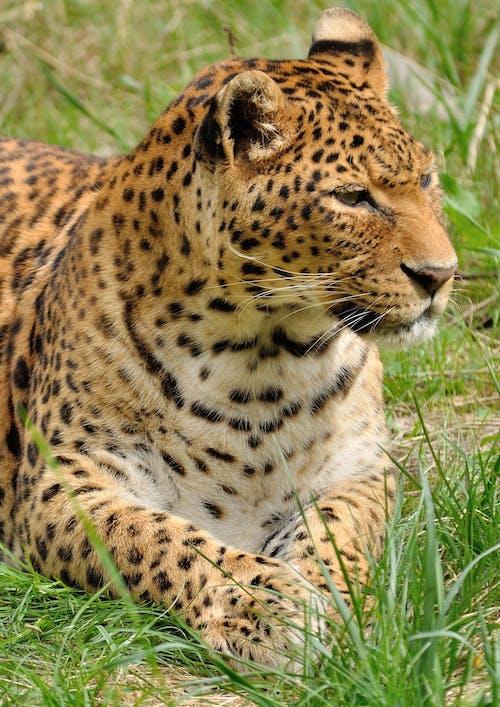 Kostnadsfri bild av däggdjur, djur, gräs, katt