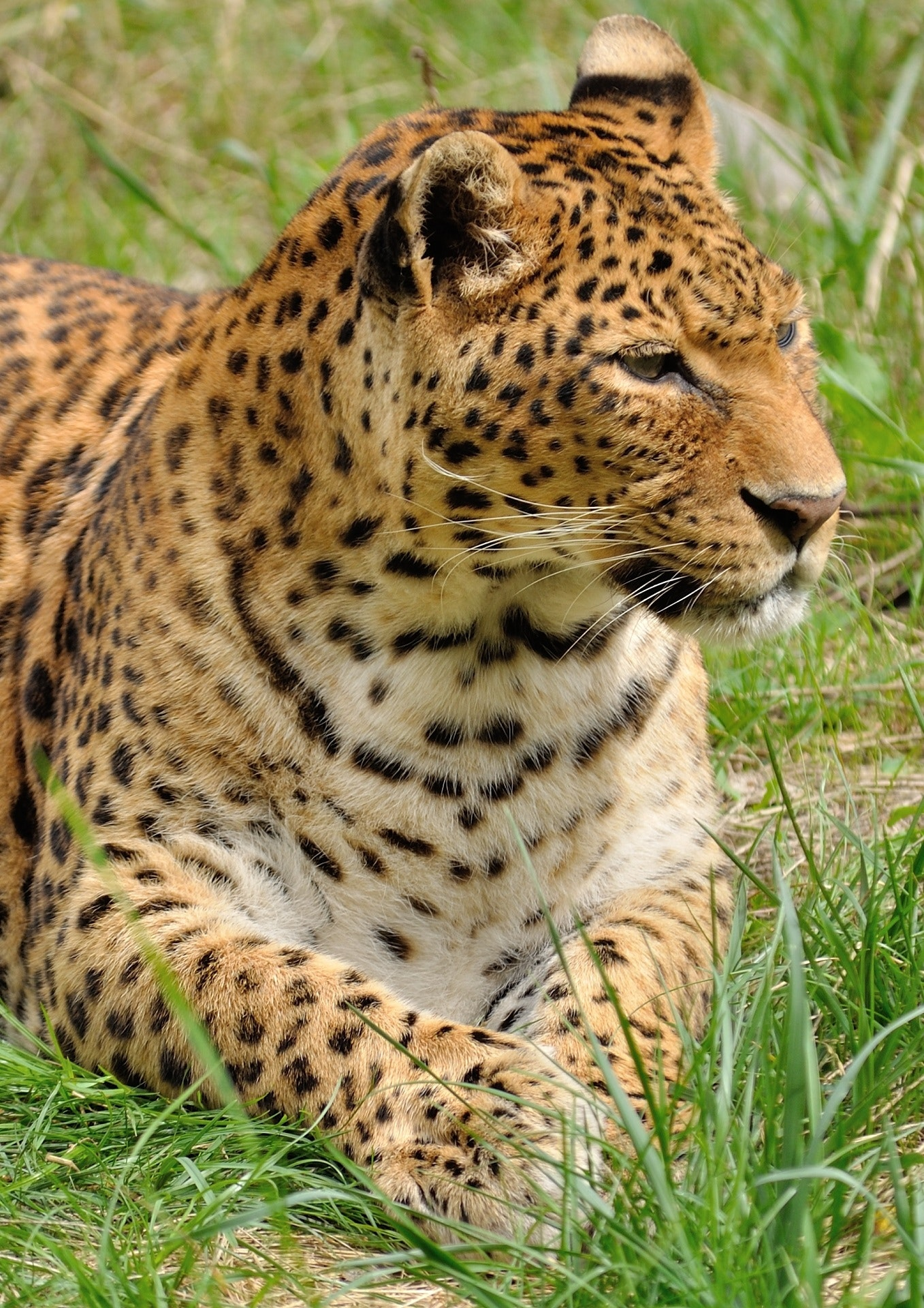 Leopard Lying In The Grass 183 Free Stock Photo