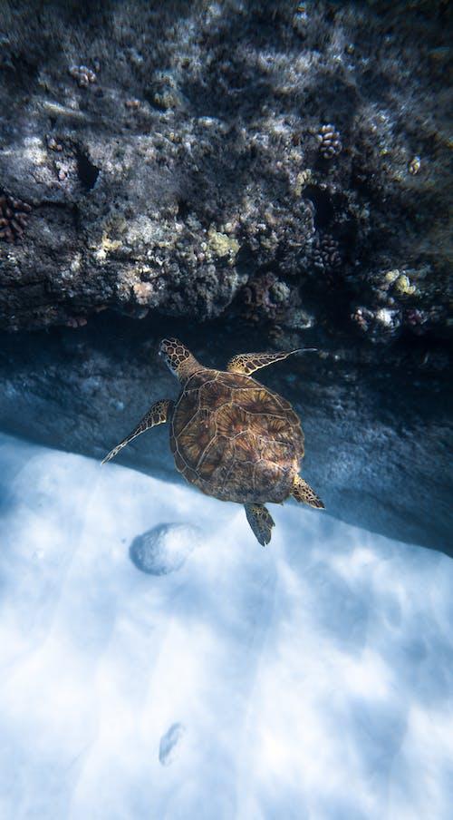 Chelonia mydas turtle swimming underwater of ocean near reef
