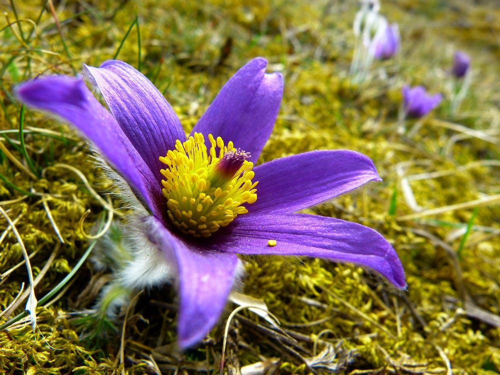 blomster, flora, fælles pasque blomst