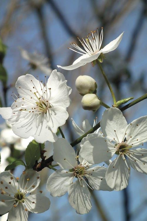 Photos gratuites de blanc, branche, fleur, fleur de cerisier