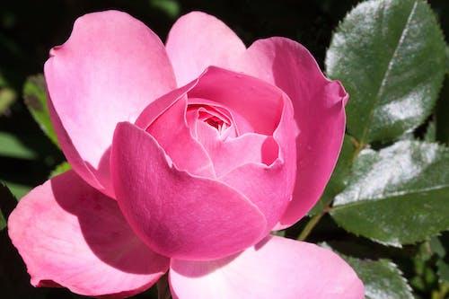 Pink Multi Petaled Flower
