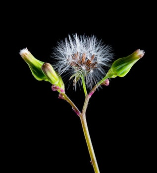 White Dandelion and 2 Green Buds Againts Black Background