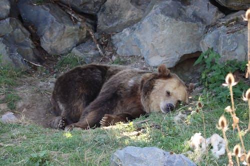 Free stock photo of bear