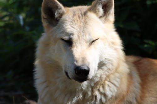 Free stock photo of wolf
