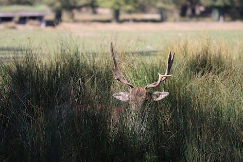 Free stock photo of buck